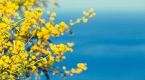 De tak van mimosa's met gele bloemen Stock Foto