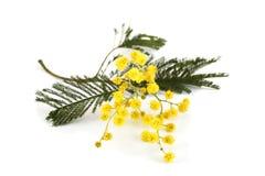 De tak van mimosa's Stock Foto's