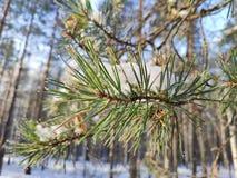 De tak van de pijnboom in de sneeuw stock foto's