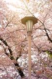 De tak van de sakuraboom van de kersenbloesem in het het kasteelpark van Osaka stock fotografie