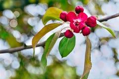 De tak van tot bloei komende appel Nedzvetski Royalty-vrije Stock Foto