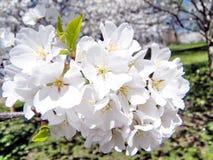 De tak van Washington van de kers komt Maart 2010 tot bloei Royalty-vrije Stock Foto's