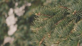 De tak van de de winterpijnboom, sneeuwvlokken op een tak, nette bladeren met water laat vallen close-up Mooie natuurlijke mening stock footage