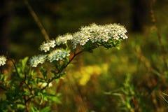 De tak van witte kleine bloemen met groen doorbladert Stock Afbeeldingen