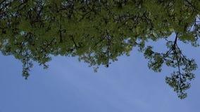 De takbloei van de esdoornboom 4K stock video