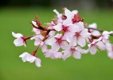 De takbloesem van de kersenboom Stock Foto's