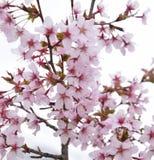 De takbloesem van de kersenboom Stock Afbeeldingen