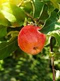 De takboom van de appel Stock Afbeeldingen