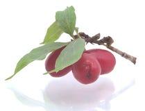 De takjes van de berberis (vulgaris Berberis) met bezinning Royalty-vrije Stock Afbeeldingen