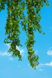 De takjes van de berk in de blauwe hemel Stock Foto