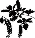 De takjes van de de boomboom van de vogelkers Stock Afbeeldingen