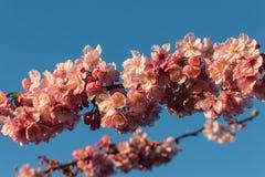 De takjes van de kersenboom in volledige bloei Royalty-vrije Stock Fotografie