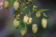 De Takjes van de hopinstallatie van hopachtergrond Ingrediënten voor bier stock foto