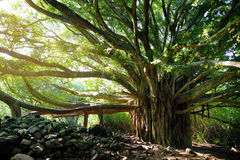 De takken en de hangende wortels van het reuze banyan boom groeien op beroemde Pipiwai slepen op Maui, Hawaï Stock Foto's