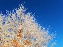 De takken en de zaden van as zijn behandeld met vorst in de koude worden verlicht door een heldere en zachte zon tegen de blauwe  royalty-vrije stock foto
