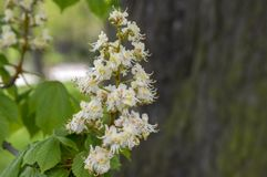 De takken van Aesculushippocastanum in bloei royalty-vrije stock afbeeldingen