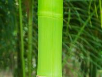 De takken van bamboe verlaat mooie groene aard Stock Afbeelding