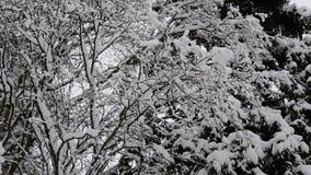De takken van berk en sparren zijn behandeld met sneeuw stock videobeelden