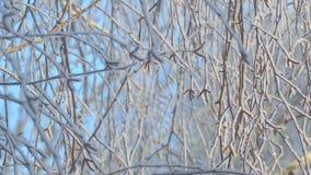 De takken van de berk zijn behandeld met rijp stock videobeelden