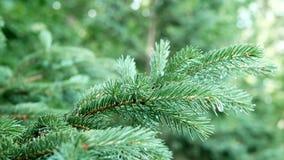 De takken van blauwe sparren of pijnboom Selectieve nadruk, close-up stock videobeelden