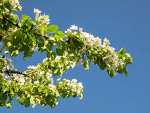 De takken van bloeiende peer tegen de blauwe hemel stock afbeelding