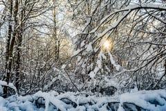 De takken van bomen zijn behandeld met sneeuw, voorbij de bomen van het dichte bos kunt u de het plaatsen zon zien Stock Foto