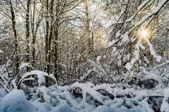 De takken van bomen zijn behandeld met sneeuw, voorbij de bomen van het dichte bos kunt u de het plaatsen zon zien Royalty-vrije Stock Afbeeldingen