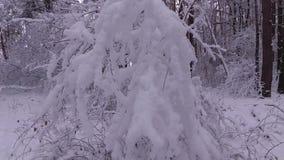 De takken van de boom die met sneeuw worden behandeld stock video