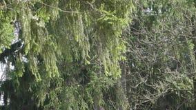 De takken van de boom slingeren in de wind stock videobeelden