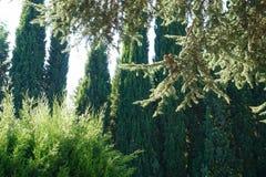De takken van de ceder en de cipres stock fotografie