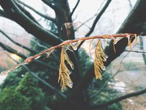 De takken van de cipresboom met bevroren ijs worden behandeld dat stock afbeelding