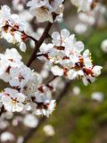 De takken van de abrikozenbloesem Royalty-vrije Stock Foto's