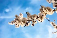 De takken van de abrikozenbloesem Royalty-vrije Stock Afbeelding