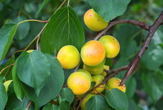 De takken van de abrikozenboom met vruchten en bladeren Stock Afbeeldingen