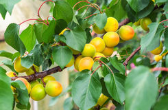 De takken van de abrikozenboom met vruchten en bladeren Stock Afbeelding