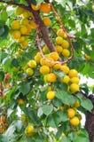 De takken van de abrikozenboom met vruchten en bladeren Royalty-vrije Stock Afbeeldingen