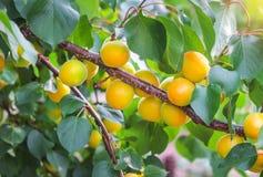 De takken van de abrikozenboom met vruchten en bladeren Royalty-vrije Stock Fotografie