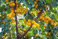 De takken van de abrikozenboom met vruchten en bladeren Royalty-vrije Stock Afbeelding