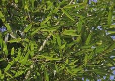 De takken van de bamboeboom Stock Afbeelding