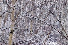 De takken van de berk die met sneeuw worden behandeld Stock Foto