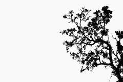 De takken van de boom die op witte achtergrond worden geïsoleerdp Stock Afbeeldingen