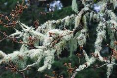 De takken van de boom met korstmossen stock afbeelding