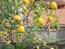 De takken van de citroenboom met vruchten royalty-vrije stock foto's