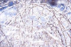 De takken van de de winterframboos die met sneeuw worden behandeld De bevroren tak van de frambozenstruik in de winterbos Royalty-vrije Stock Foto