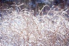 De takken van de de winterframboos die met sneeuw worden behandeld De bevroren tak van de frambozenstruik in de winterbos Royalty-vrije Stock Fotografie