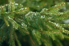 De takken van de de winterspar met ijs, sneeuw en bevroren waterdalingen die worden behandeld Bevroren nette boomtak in de winter Royalty-vrije Stock Foto's
