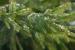 De takken van de de winterspar met ijs, sneeuw en bevroren waterdalingen die worden behandeld Bevroren nette boomtak in de winter Royalty-vrije Stock Afbeeldingen
