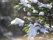 De takken van de de winterspar met sneeuw in het zonlicht Stock Foto's