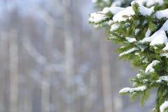 De takken van de de winterspar met sneeuw worden behandeld die Bevroren boomtak in de winterbos Royalty-vrije Stock Afbeeldingen