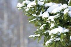 De takken van de de winterspar met sneeuw worden behandeld die Bevroren boomtak in de winterbos Stock Fotografie